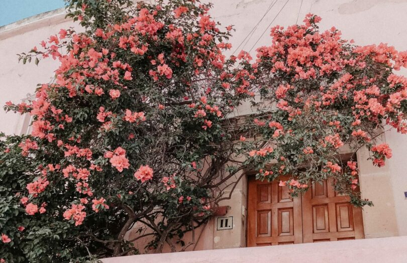 Pink flowers decorate the outer wall of a beige building.