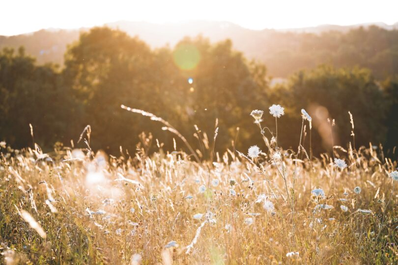 Sunset on a field with long grass and flowers.