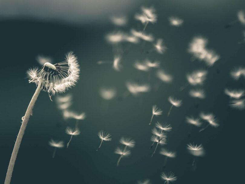 A dandelion losing seed in the wind.