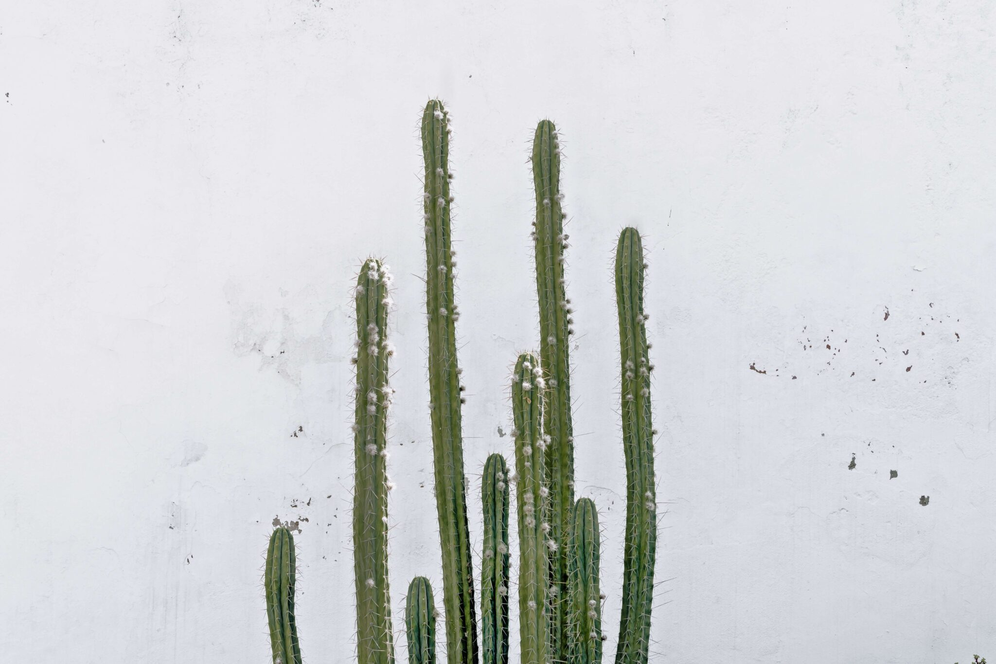 A cactus with a white background